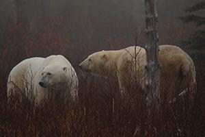 polarbears10